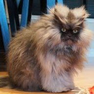 Albay Kedi